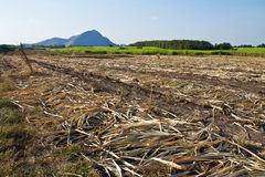Sugar cane farm Royalty Free Stock Images