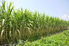 Sugar cane farm Stock Photography