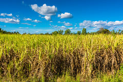 Sugar cane farm Royalty Free Stock Image