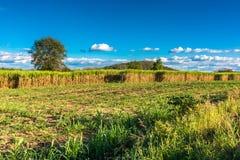 Sugar cane farm Stock Photo