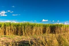 Sugar cane farm Royalty Free Stock Images
