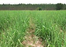 sugar cane farm Stock Photography