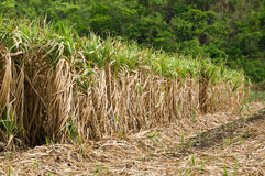 The sugar cane farm in Thailand Royalty Free Stock Photos