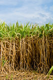 The sugar cane farm in Thailand Royalty Free Stock Images
