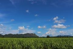 Sugar cane farm. View side way in Kanchanaburi, thailand Royalty Free Stock Image