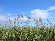 Sugar Cane Field #1 Royalty Free Stock Image