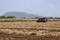 Sugar-cane field Royalty Free Stock Photo