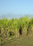 Sugar Cane Field Royalty Free Stock Photos