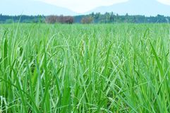 Sugar cane field Royalty Free Stock Image