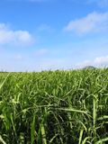 Sugar Cane Field #2 Royalty Free Stock Photography