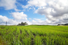 Sugar cane field Royalty Free Stock Images