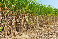 Sugar cane field Royalty Free Stock Photo