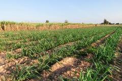 Sugar cane field Stock Photo