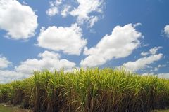 Sugar cane field Stock Images