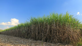 Sugar cane field in blue sky Stock Photos