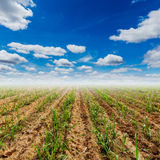 Sugar cane field and blue sky with clouds in agriculture Stock Image