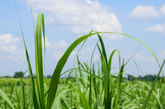 Sugar cane field Stock Photography
