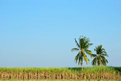 Sugar  cane field & coconut Royalty Free Stock Images