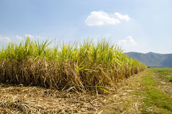 Sugar-cane Field (Saccharum officinarum Linn.) Stock Photo