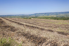 Sugar Cane Field Cut Crop Stock Photo