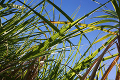 Sugar Cane Field Farming Stock Images