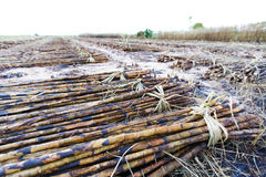 Sugar cane field fired Royalty Free Stock Photo