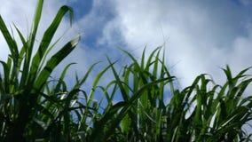 Sugar Cane Field in Miyako island, Okinawa, Japan