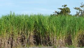 Sugar Cane Field Port Myaca Florida Imagem de Stock