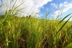 Sugar Cane Field Saint Kitts Royalty Free Stock Photos