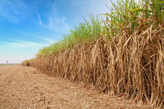 Sugar cane field. Royalty Free Stock Photography