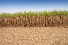 Sugar cane field . Stock Images
