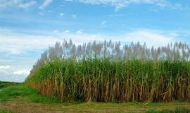 Sugar cane. Field in south of florida Stock Photo