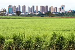 Sugar cane field Stock Photos
