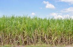 Sugar cane field Stock Photos