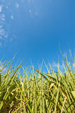 Sugar Cane Field With Blue Sky Royalty Free Stock Photos