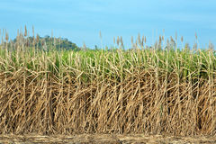 Sugar cane fields. Stock Image
