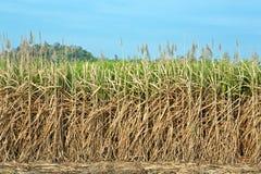 Sugar Cane Fields. Stock Image