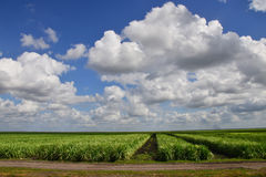 Sugar Cane Fields. Are a common sight in southern Florida stock photos