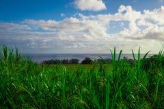 Sugar Cane Fields en Hawaii con el océano en fondo Fotografía de archivo