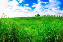 Sugar Cane Fields in Hawaii Royalty Free Stock Image