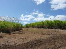 Sugar Cane Fields Royalty Free Stock Photo
