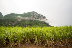 Sugar cane fields Stock Photography