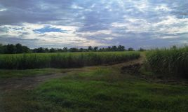 Sugar cane fields stock images