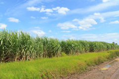 Sugar cane fields of Thailand. Blue Sky Royalty Free Stock Photos