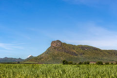 Sugar cane fields in valley mountain Royalty Free Stock Images