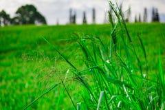 Sugar Cane Fields y colina del balanceo en Hawaii Fotos de archivo libres de regalías