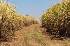Sugar Cane Fire Break Fotografia Stock Libera da Diritti