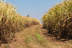 Sugar Cane Fire Break Royalty Free Stock Photo