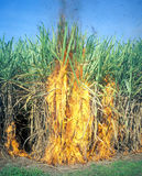 Sugar cane fire Royalty Free Stock Image