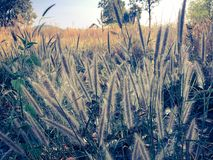 Sugar cane flowe. R Sunrise,Beauty blue sky and clouds in daytime in Thailand Royalty Free Stock Photo